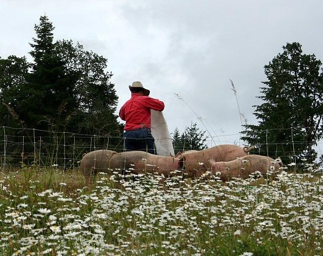 Grass-fed pigs at Norton Creek Farm